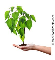 小的樹, 生長, 在, 婦女, 手