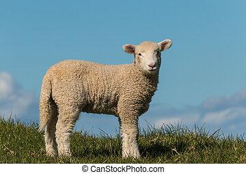 小羊, 好奇, 模仿, 空間