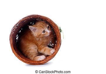 小貓, 在, a, 籃子, 被隔离, 在懷特上