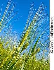 小麥收獲, 上, 藍色的天空
