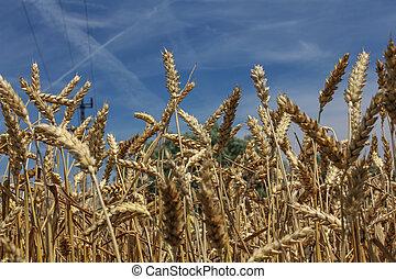 小麥田地, 針對, 藍色的天空