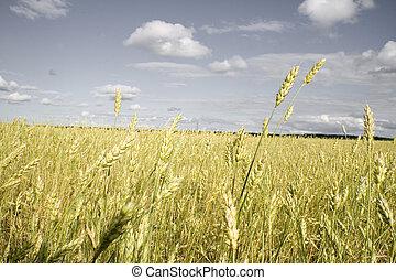 小麥田地, 黃金, 以及, 灰色的天空