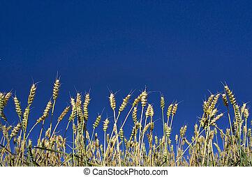 小麥, 上, 藍色的天空