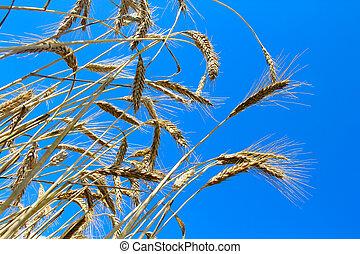 小麥, 上, 藍色的天空, 背景