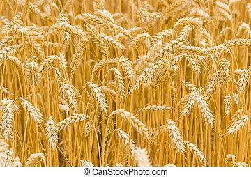 小麥, 成熟, 碎片, 集中, 領域, 選擇性