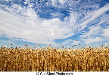 小麥, 耳朵, 針對, the, 天空