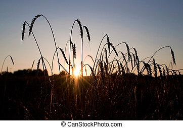 小麦, 成熟