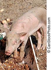 小, 豬, 吃