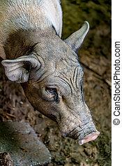 小, 豬, 微型畫, 豬
