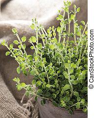 小, oregano, 植物