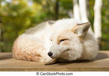 屋外, キツネ, 睡眠