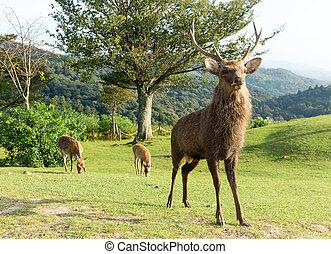 屋外, 鹿