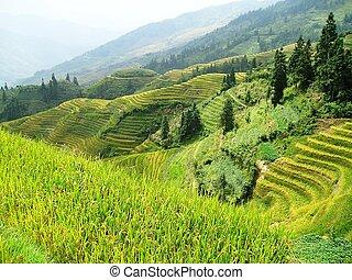 山坡, 稻米, 阶地, 在中, 亚洲