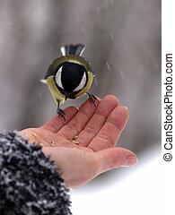 山雀, 鳥, 在, 手