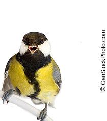 山雀, 鳥, 被隔离, 在懷特上