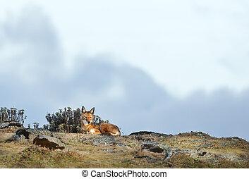 山, まれである, エチオピア, 危険にさらされる, 狼, あること
