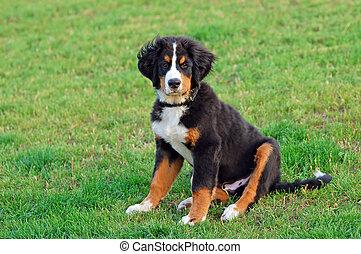 山 犬, 肖像画, 子犬, bernese