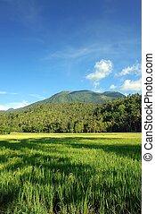 山, 米, field., アジア人, 風景