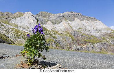 山, 花, サーカス, -, ピレネー山脈, すみれ, troumouse