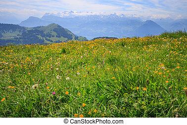 山, 観点, 牧草地, キンポウゲ, 野生の花, 黄色, ぼんやりさせられた, 範囲, パノラマである, rigi, 風景, 背景, スイス, kulm, europe., ルツェルン, 光景