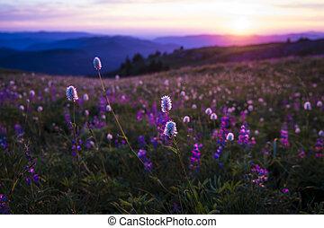 山, 野生の花, 日没, バックライトを当てられる