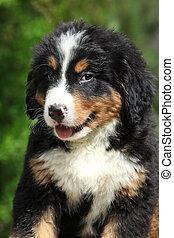 山, bernese, 犬, 子犬, 肖像画