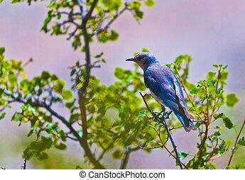 山, bluebird