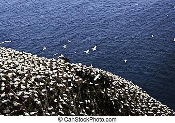 岬, st. 。, 聖域, 鳥, 生態学的, メアリーの, gannets