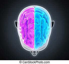 左, 権利, 人間の頭脳