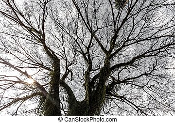 巨人, 木の 冬, albizia