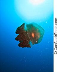 巨人, 果子凍魚吊錨器, 大堡礁, 澳大利亞