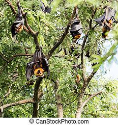 巨人, 水果蝙蝠, 上, 樹