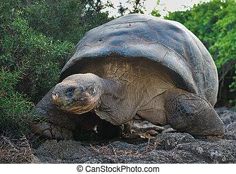 巨人, 海龜, galapagos 島, 厄瓜多爾