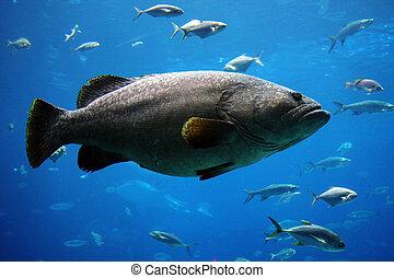 巨人, 石斑魚