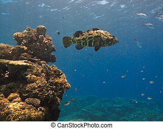 巨人, 鱈魚, 大堡礁, 澳大利亞