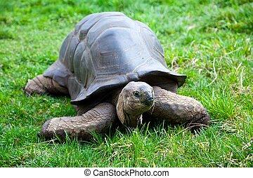 巨人, aldabra, カメ