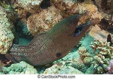 巨人, moray 鰻魚, 由于, a, 擦淨劑, 隆頭魚科的魚
