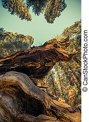 巨大的紅杉, 古老, 森林