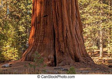 巨大的紅杉, 樹