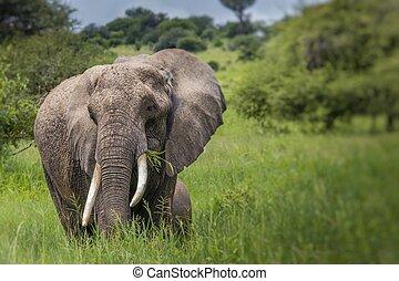 巨大, アフリカの象, 雄牛, 中に, ∥, tarangire の国立公園, タンザニア