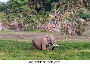 巨大, 象, 中に, ∥, swamp., amboseli, kenya., アフリカ