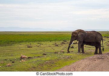 巨大, 象, 隔離された, 上に, ∥, 道, 中に, ∥, サバンナ, の, amboseli, 公園, 中に, kenya