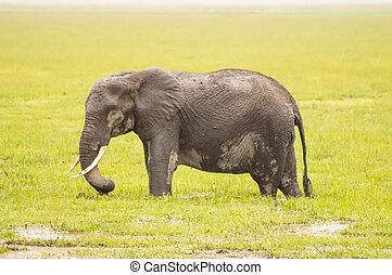 巨大, 象, 隔離された, 上に, ∥, 道, 中に, ∥, サバンナ, の, amboseli