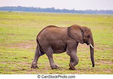 巨大, 象, 隔離された, 上に, ∥, 道, 中に, ∥, サバンナ