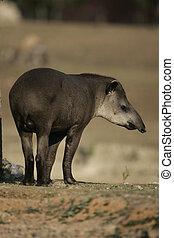巴西人, 貘, tapirus, terrestris