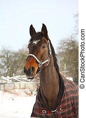 布朗, 馬, 冬天, 肖像