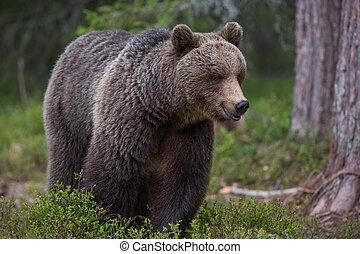 布朗,  tiaga, 森林, 熊