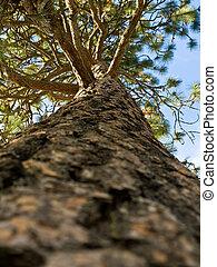 常緑の木, 青い空, 背景