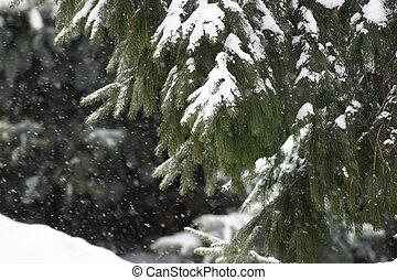 常緑樹, カバーされた, 雪