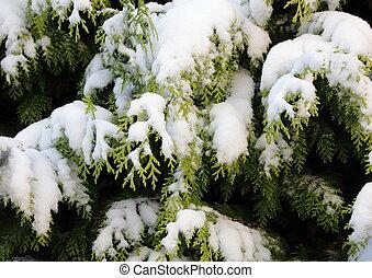 常緑樹, 冬, 雪, ブランチ, thuja, カバーされた